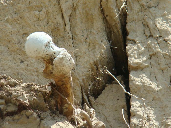 Фото 6: Кістки в березі з кладовища, що осипається у воду, с. Мозоліївка, 2017;